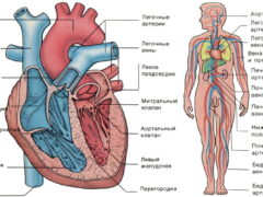 О сердце и кровообращении