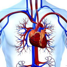 Сердечно — сосудистая система